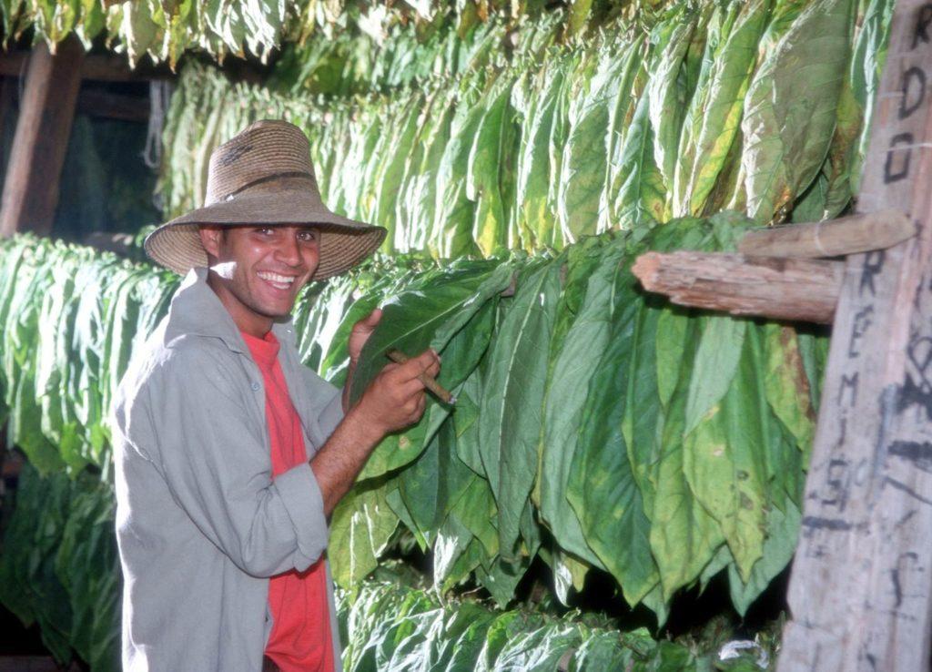 Vinjales cigar leaves